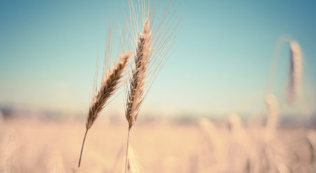 'Stem rust' fungus threatens global wheat harvest