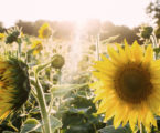 RHS Sunflower seed giveaway