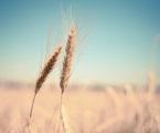 'Stem rust' fungus threatens global wheat harvest