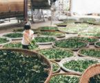 Sri Lanka's tea growers have gone organic
